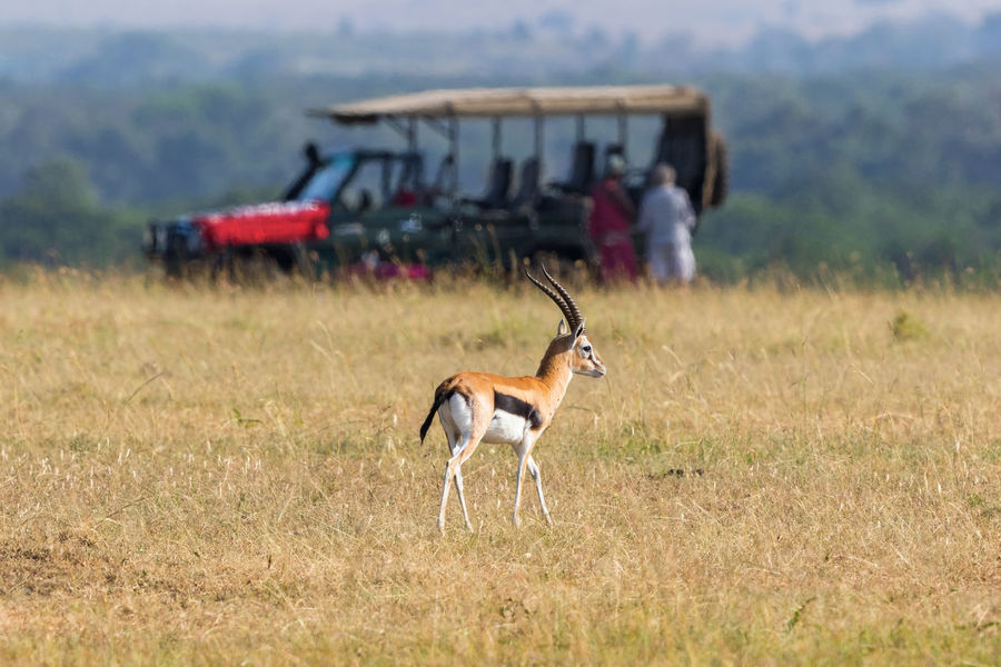 Thomson's gazelle on the savannah with a safari car in the background Game Drive Gazelle Masai Mara Savannah Tourist Travel View Wilderness Area Wildlife & Nature Animal Wildlife Animals In The Wild Beauty In Nature Car Field Jeep Landscape Nature One Animal Safari Safari Animal Safari Animals Scenics Thomson's Gazelle Tourism Wildlife