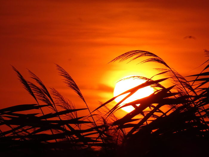 Low angle view of silhouette grass against sky during sunset