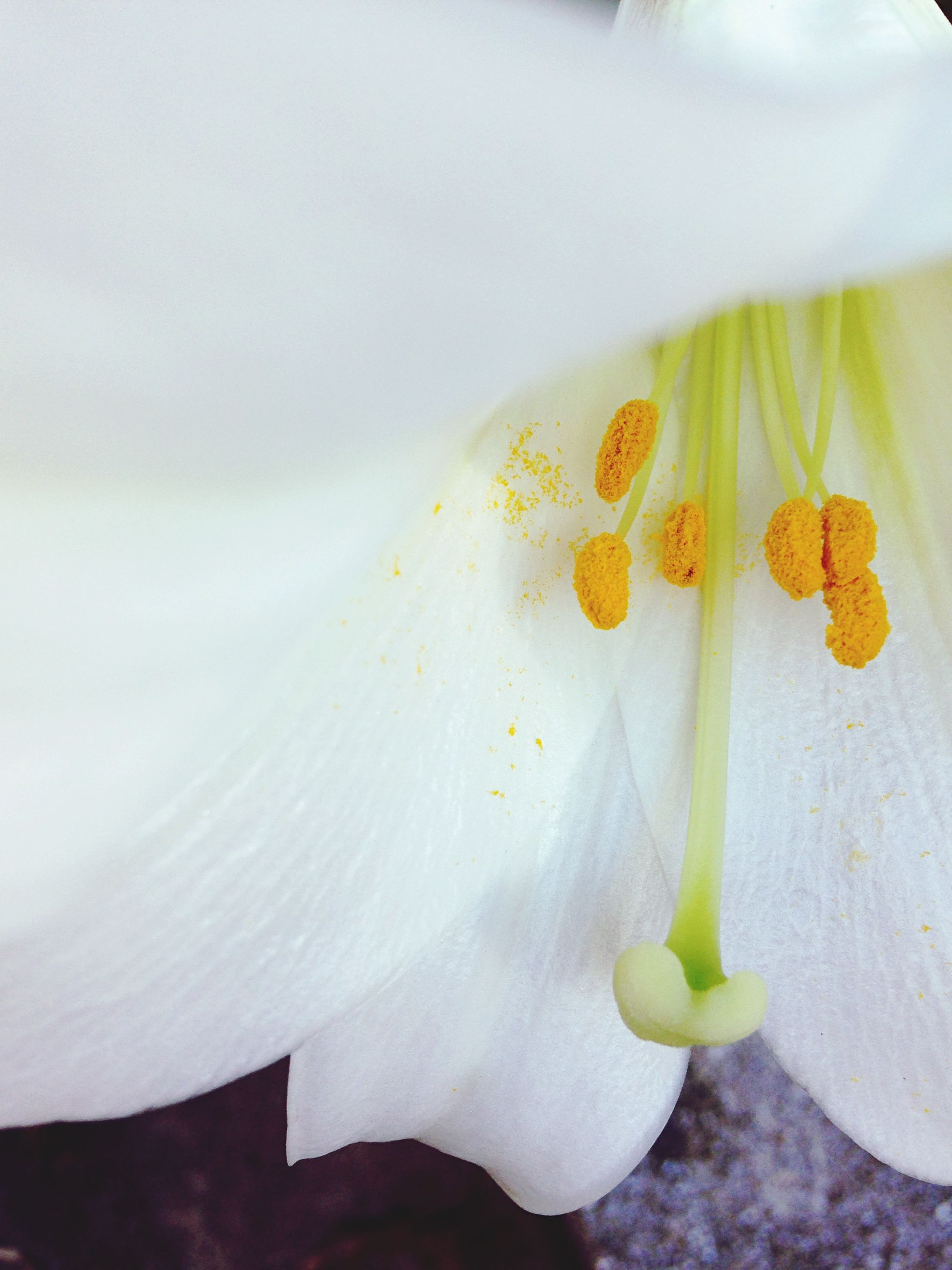 flower, petal, freshness, flower head, fragility, white color, beauty in nature, close-up, growth, nature, single flower, blooming, stamen, pollen, plant, white, yellow, focus on foreground, in bloom, blossom