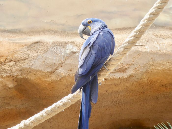 Beak Animal Animal Themes Bird Blue Close-up Hyacinth Macaw Large Parrots No People Parrot Perching South American Birds Tropical Birds Tropical Climate Zoology