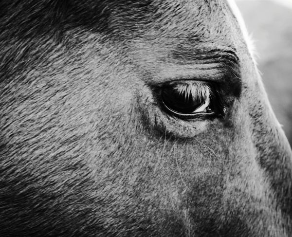 horse eye Eyelash Eyeball Portrait Horse Animal Eye Pets Close-up Livestock Working Animal
