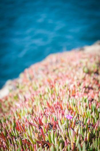 Succulent Plants Growing At Bodega Bay