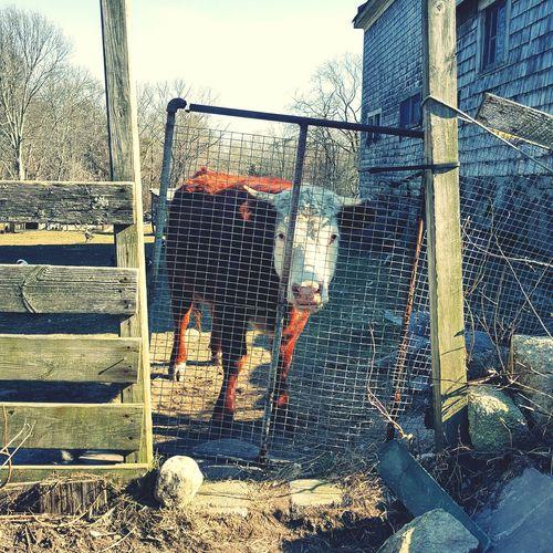 Cow Farm Rural
