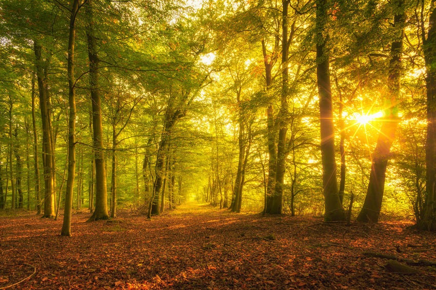 Autumn colours in the forest. Nature Nature Photography Autumn Beauty In Nature Branch Day Fog Forest Leaf Nature No People Outdoors Scenics Sun Sunbeam Sunlight Tranquil Scene Tranquility Tree WoodLand