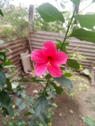 Click by Dhaval Saoji... No Edit... Flower Head Flower Hibiscus Pink Color Periwinkle Red Petal Close-up Plant EyeEmNewHere This Is Masculinity Moving Around Rome Modern Workplace Culture