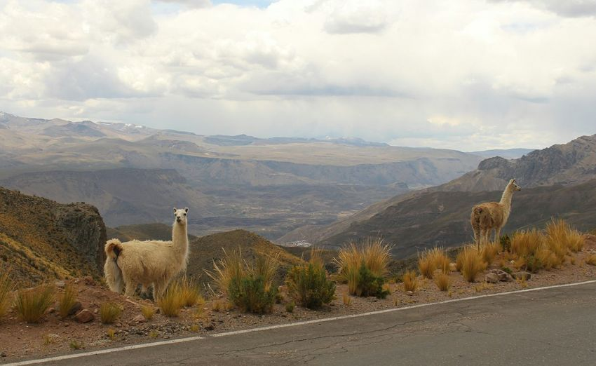 Lamas Standing By Road Against Mountains