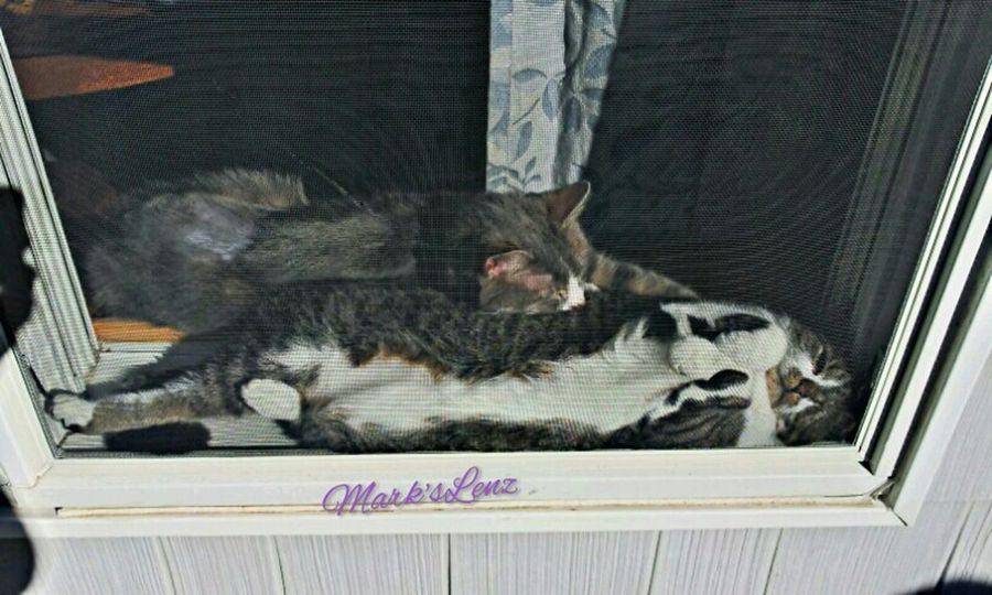 2 Cool Cats sharing a warm spot in the sun... Pets Kitty Enjoying The Sun Taking Photos Fotodroiding Andrography Photography From My Window Droidography Fotodroids Android Andrographer Droidographer Cats