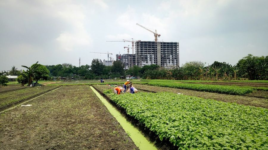 Agriculture Indonesianfarmers Jakartafarmers Jakarta Indonesia Spinachfield Pulo Gadung