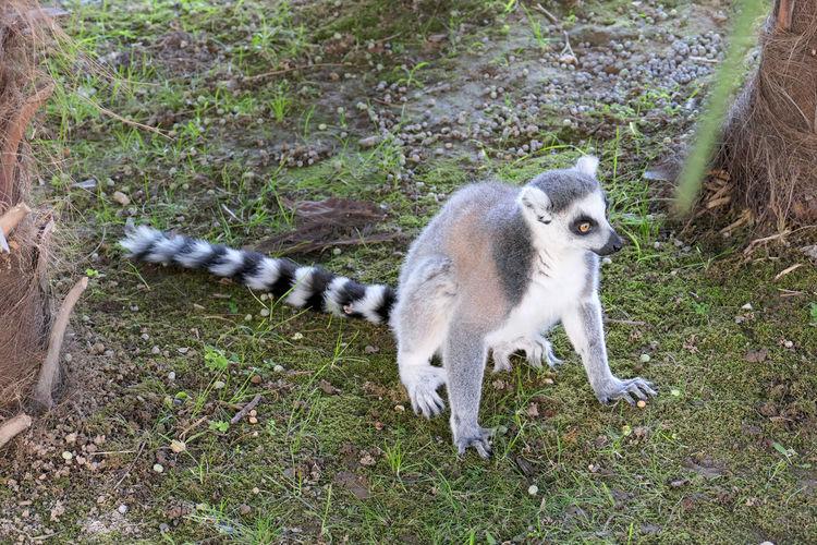 Pets Lemur