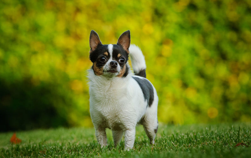 Chihuahua dog standing in grass One Animal Mammal Animal Themes Pets Canine Portrait Small Dog Animal Domestic Grass Young Animal Looking At Camera No People Chihuahua - Dog Purebred Dog Day Chihuahua Standing Park Grass