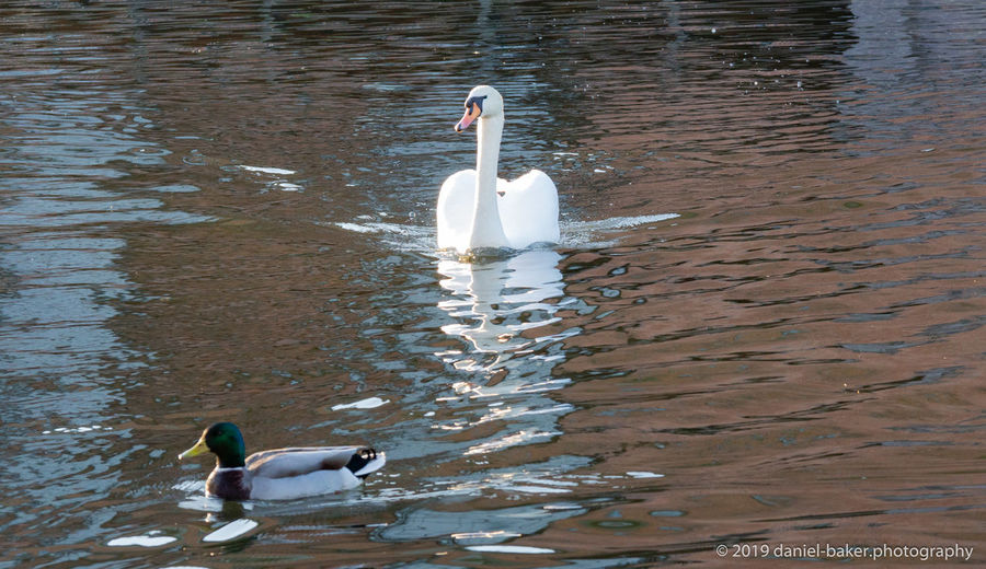 Floating On Water Rippled High Angle View No People Swan Water Bird Swimming Waterfront Day Animal Water Bird