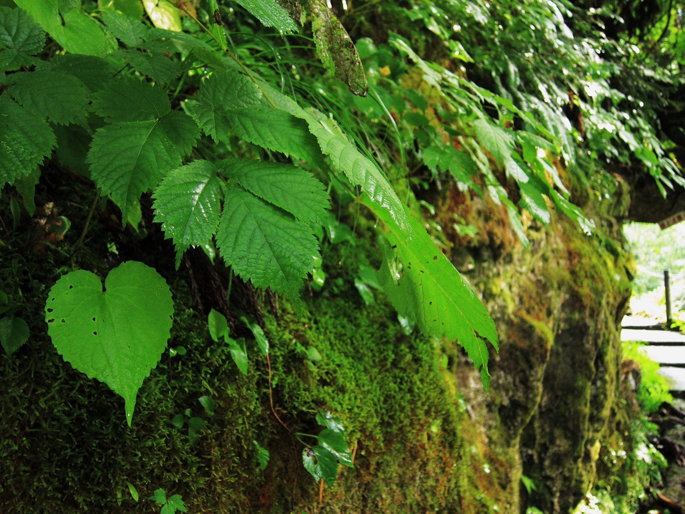 leaf, green color, growth, tree, plant, nature, tree trunk, branch, growing, ivy, close-up, sunlight, day, outdoors, tranquility, no people, leaves, lush foliage, green, front or back yard