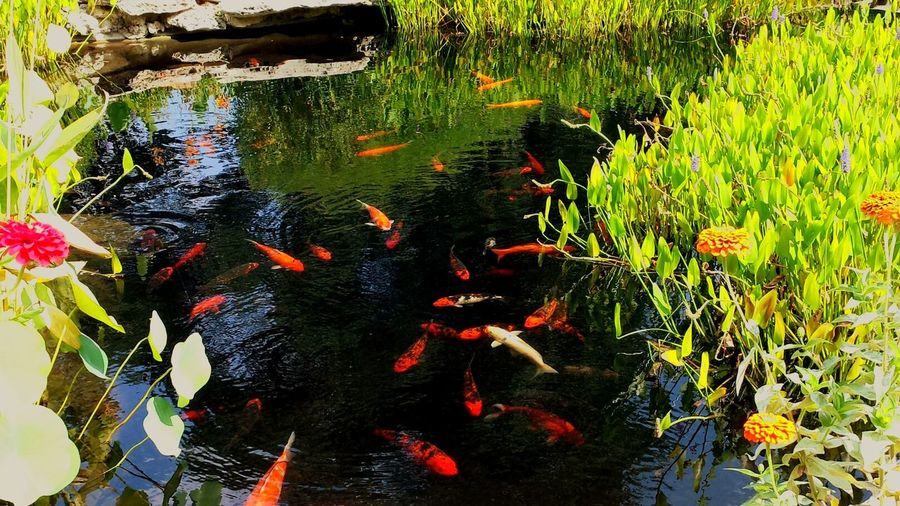 Fish Nature Nature Photography Fishpond Goldfishpond Koi Fish Goldfish Goldfispondgarden Goldfish Trade Goldfische