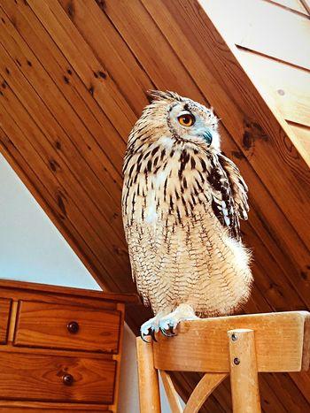 睥睨 睥睨 自然 天窓 特別 神秘 芸術 やわらかい 幸福 やさしい 光 静寂 モデル 猛禽類 フクロウ Owl ベンガルワシミミズク Rock Eagle Owl Wood - Material Animal No People Day Bird Nature Animal Wildlife Wood