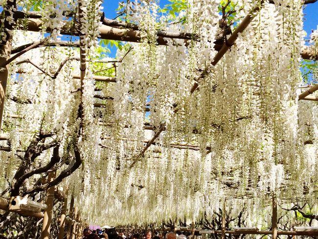 Wisteria White Ashikaga Flower Park Travel Destination 9 Places Of The World Of Dream EyeEm Flower Flowers Flower Japan 2015.4.30. あしかがフラワーパーク✨白藤のトンネル✨ \(^^)/