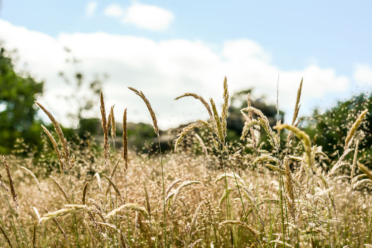 Close-Up Of Crops On Field Against Sky