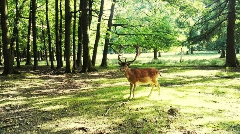 Tree Animal Themes Nature Forest Grass Deer Animal Wildlife Animals In The Wild Outdoors No People Beauty In Nature Landscape One Animal Field Green Color Growth
