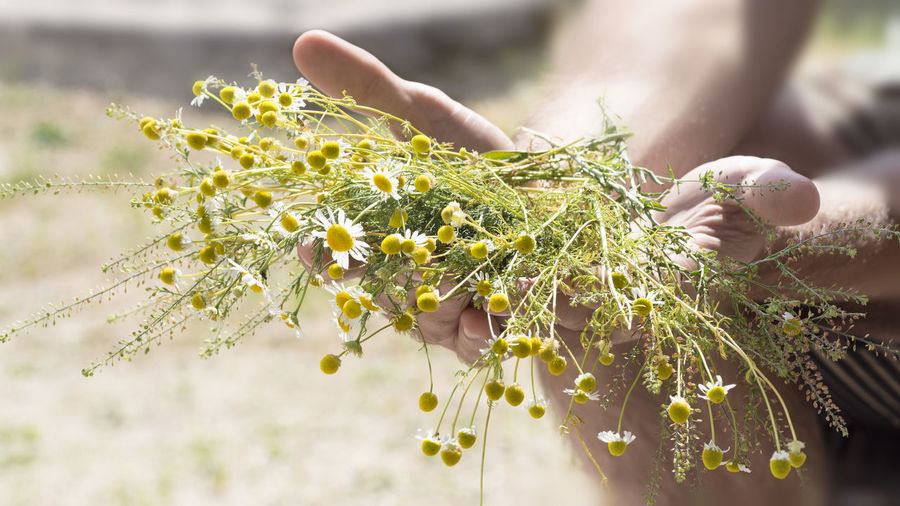 Chamomile EyeEm Nature Lover EyeEm Gallery Matricaria Chamomilla Sunlight Beauty In Nature Close-up Finger Flower Flower Collection Flowers Green Color Hand Holding Human Body Part Human Hand Nature One Person Outdoors Plant Real People