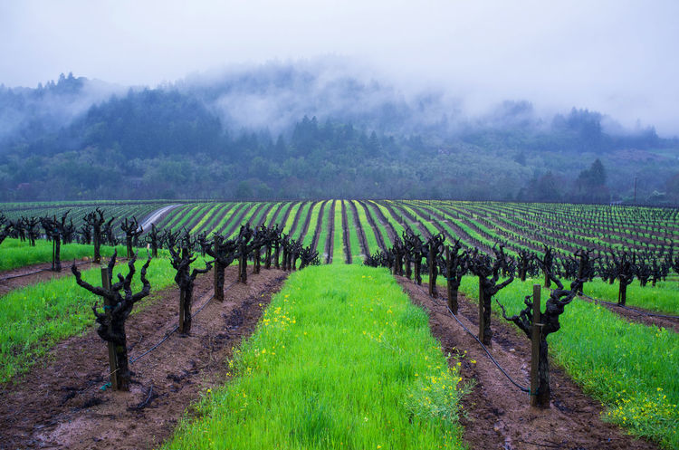 Photo of a vineyard in the Russian River Valley in Healdsburg California. Grapes 🍇 Healdsburg Landscape Napa Valley Vineyard Russian River Sonoma Wine Country Tranquil Scene Vineyard Wine Tasting Winery Landscapes With WhiteWall