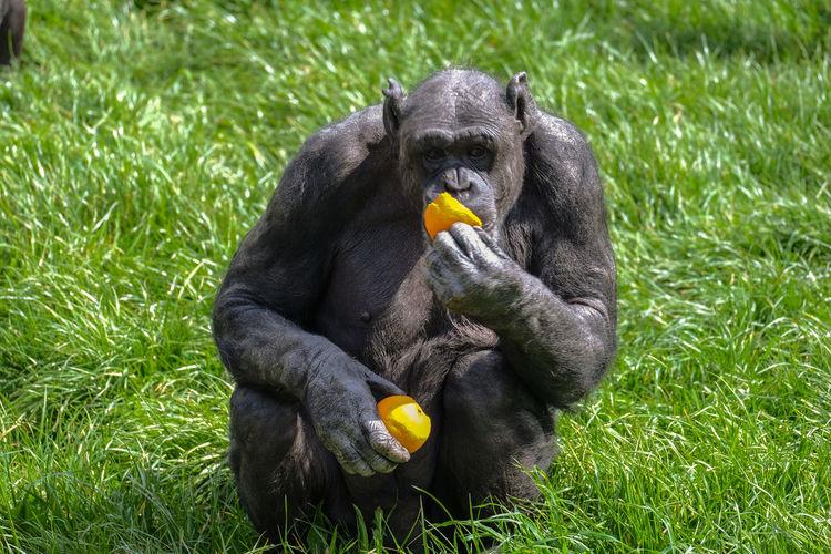 Gorilla Eating Orange On Grassy Field