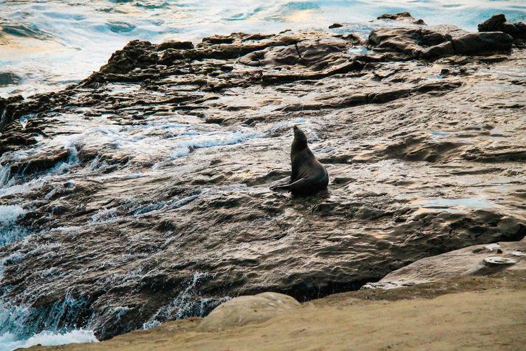 Animal Themes Animals In The Wild California La Jolla One Animal Relaxation Sea Sea Lion Water