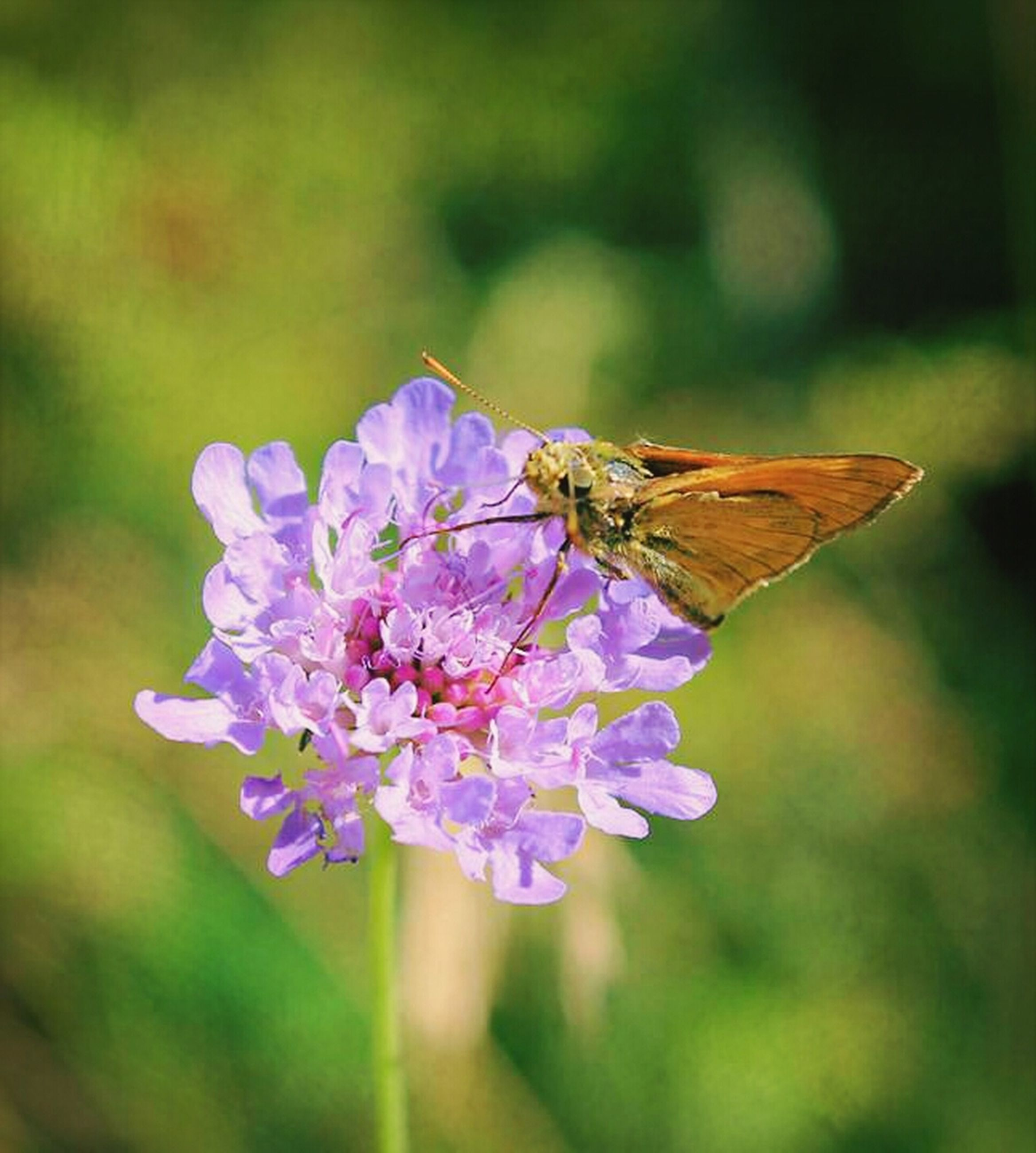 flower, insect, one animal, animal themes, animals in the wild, wildlife, fragility, freshness, pollination, focus on foreground, beauty in nature, petal, close-up, butterfly, butterfly - insect, purple, growth, nature, symbiotic relationship, flower head