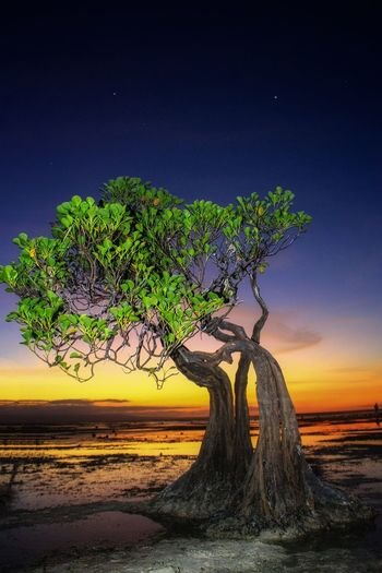 walakiri beach, waingapu sumba timur Tree Star - Space Sunset Water Sea Blue Branch Sky Horizon Over Water Landscape