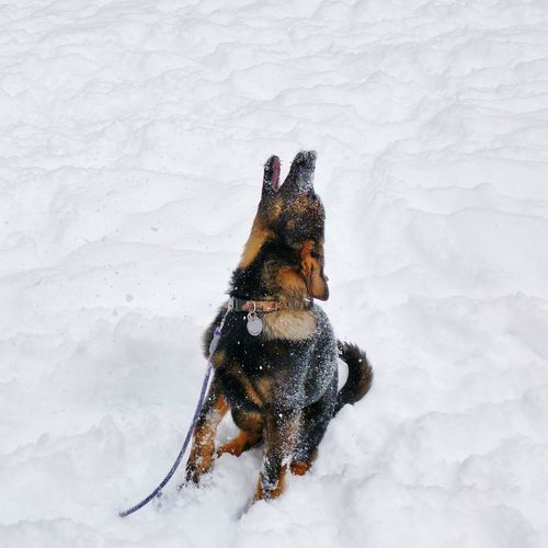 a winter howl Upstate New York My Pet Germanshepherd Puppy German Shepherd Puppy Snow Dog Working Dog One Animal Snow Winter Pets Cold Temperature Outdoors Nature Domestic Animals No People Day Animal Themes Dog
