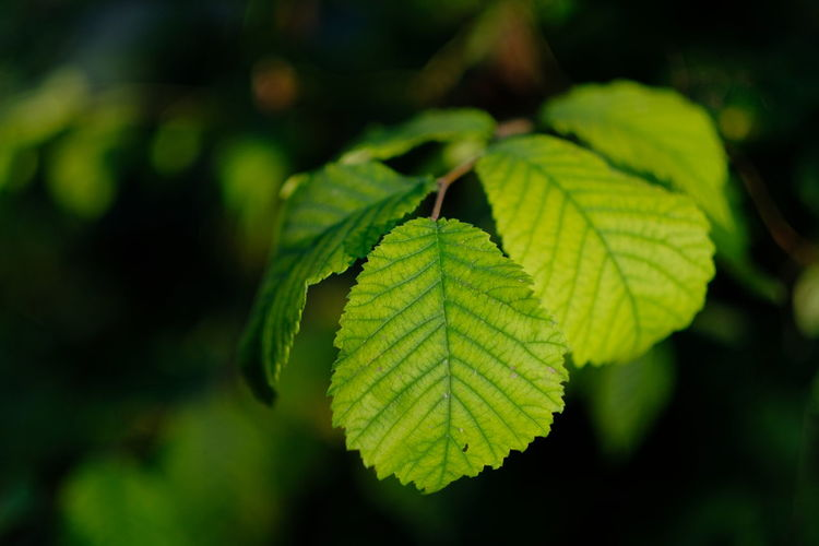 young beech leaves, close-up Leaf Plant Part Green Color Plant Close-up Growth Nature Beauty In Nature No People Focus On Foreground Day Selective Focus Outdoors Natural Pattern Leaf Vein Freshness Tranquility Sunlight Tree Land Leaves Black Background Beech Close Up Closeup