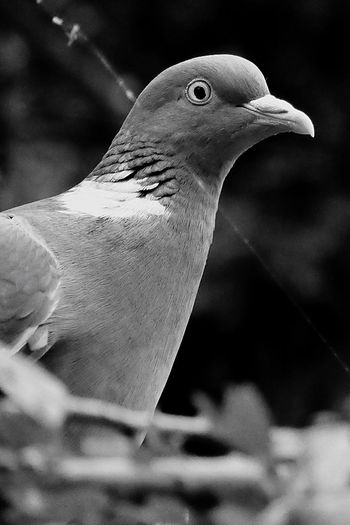 Denmark 🇩🇰🇩🇰🇩🇰 Copenhagen Doves, Birds Dove Love Black&white Black Color Capture The Moment EyeEm Best Shots Nature Art Bird Photography Birds_collection Detailphotography Light And Shadow Natural Beauty Fine Art Photography Close-up Fresh On Eyeem  ET EyeEm Nature Lover EyeEm Gallery Eye4photography