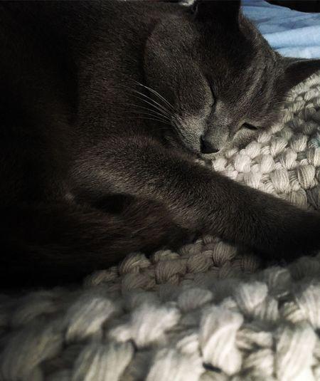 Cat Russian Blue Pets Close-up Indoors