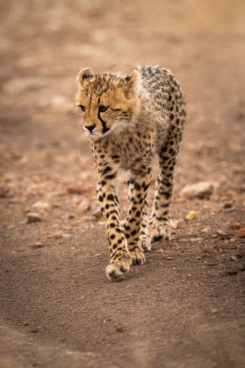 Cheetah cub on field in forest