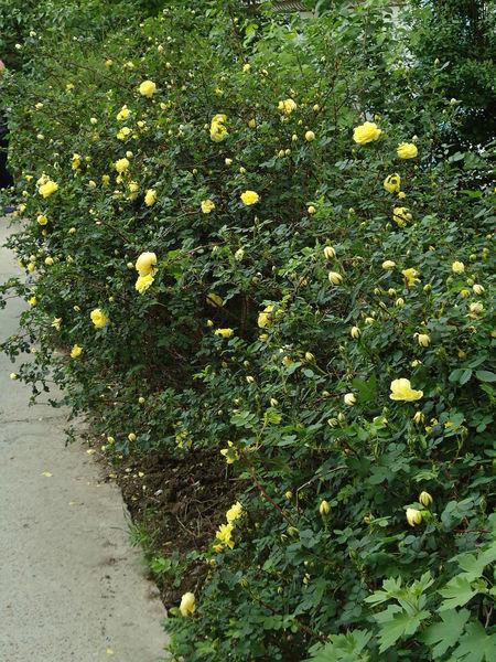 Foetida Luted May Novorossiysk Roses Outdoors Persian Yellow Persiana Roses Shrub Shrub Roses Spring Spring Flowers Springtime Summer Yellow Yellow & Green Yellow Roses