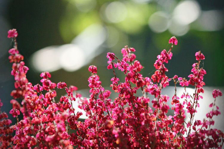 Garden Flowers Plant Backgrounds Beauty In Nature Blooming Bukeh Close-up Day Flower Flower Head Flower Macro Focus On Foreground Fragility Freshness Garden Photography Growth Nature No People Outdoors Petal Pink Color Plant Springtime