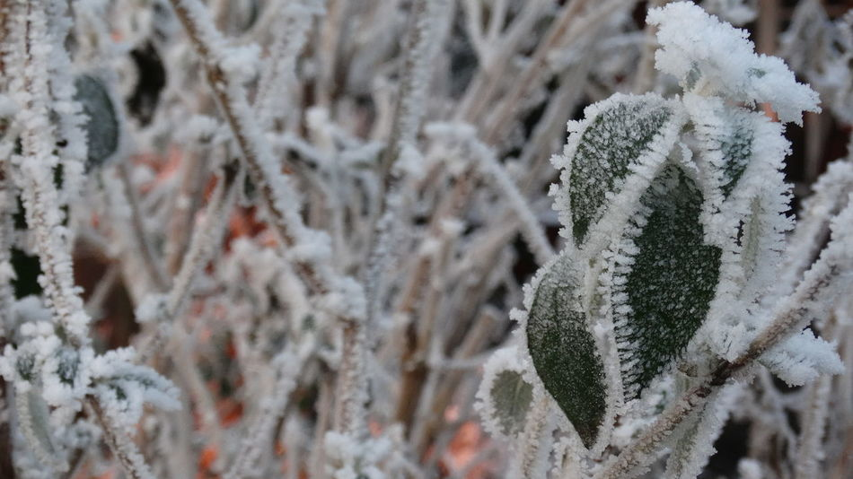 Winter Cold Temperature Snow Focus On Foreground Nature Close-up Beauty In Nature Day Outdoors Tree No People Ice Crystals Focus On Details No Filters Or Effects Frozen Frost EyeEmNewHere No Filter No Filter, No Edit, Just Photography Branch Nature Leaf Eyeemmarket