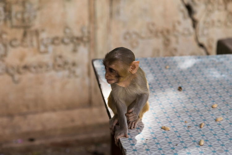 Tiny baby rhesus macaque monkey sitting on table in Myanmar with burmese writing on wall in soft focus background Rhesus Macaque Monkey Myanmar Table Baby Sitting Burmese Writing Soft Focus Background Half Profile Skinny Soft Light Wildlife One Animal Mammal Macaca Mulatta Looking Away Species ASIA Alone