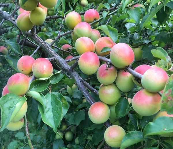 Plum Fruit Food And Drink Growth Food Plant Freshness Plant Part No People Close-up Outdoors Beauty In Nature