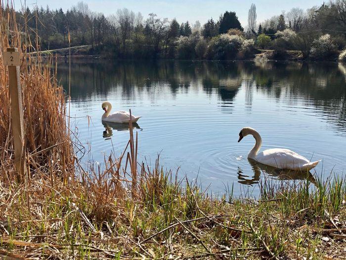 Water Vertebrate Animal Wildlife Animals In The Wild Animal Bird Animal Themes Lake Beauty In Nature Water Bird Swan Tree Reflection Nature Group Of Animals