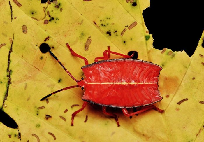 Red stink bug on yellow leaf No People Leaf Red Close-up Day Indoors  Nature Animal Themes Freshness Macro Photography Macro Beauty Macro_collection Animal Wildlife Black Background One Animal Beauty In Nature Animals In The Wild Yellow Leaf Insect Animal Red Bug Stinkbug