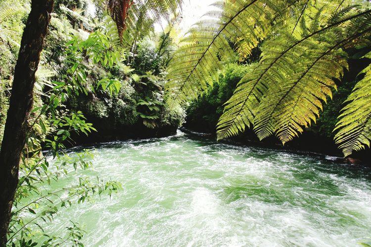 New Zealand Water Rapids Ferns Kiwi Ferns Summer 2015 Clear Water Rotorua