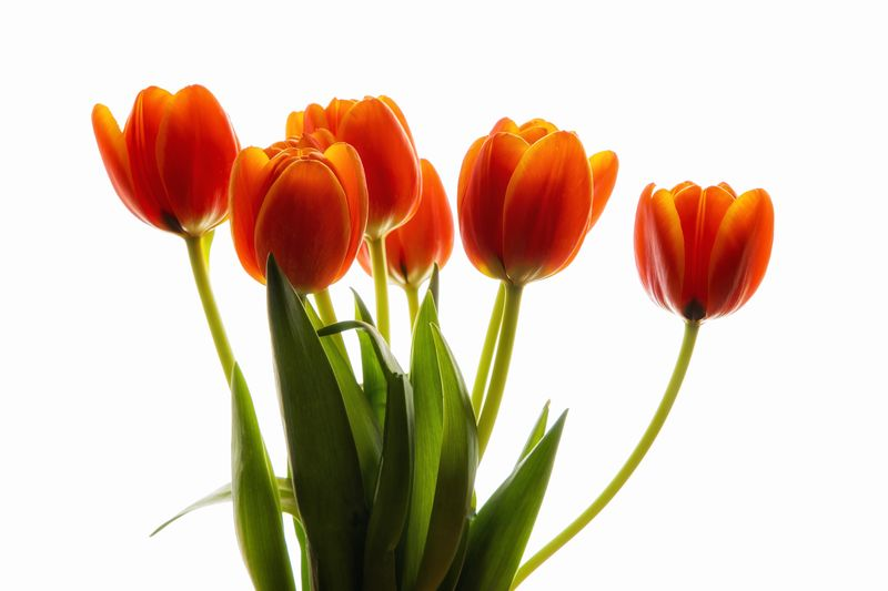 Tulips Tulips Plant Freshness Flower Beauty In Nature Flowering Plant Nature Cut Out Studio Shot White Background Close-up No People Orange Color Plant Part