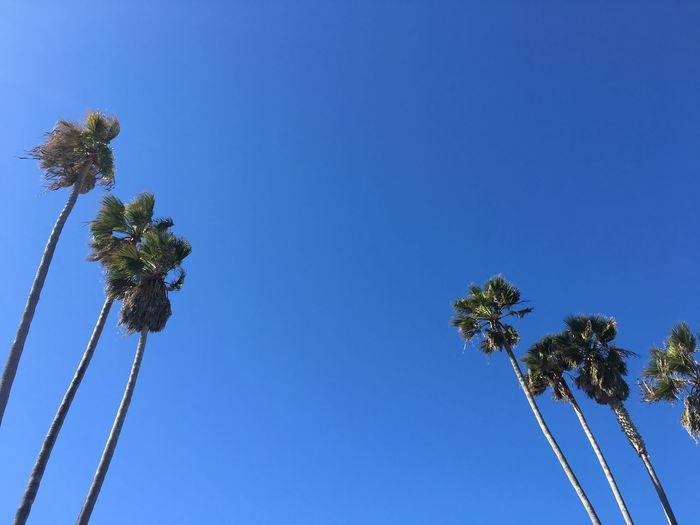 la jolla cove Beauty In Nature Blue Clear Sky Day Flower Flower Head Fragility Growth Low Angle View Nature No People Outdoors Palm Tree Sky Tree Been There. California Dreamin
