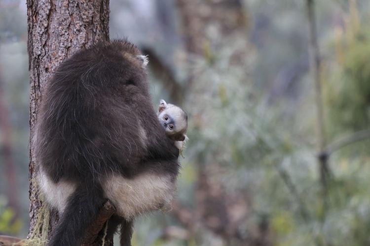 Portrait Of Yunnan Snub-Nosed Monkey On Tree