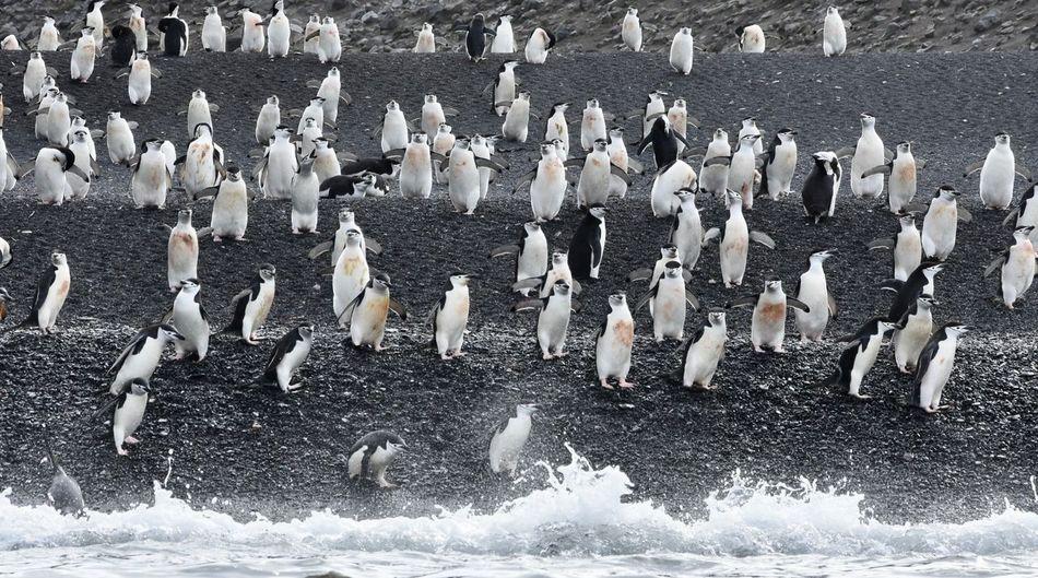 Animal Themes Animals In The Wild Antarctic Antarctic Peninsula Antarctica Chinstrap Penguin Colony Large Group Of Animals Penguin Penguin Diving Penguins Penguins In Water Polar  Polar Climate Swimming Penguin Water EyeEmNewHere