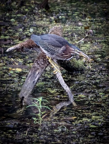 The Heron and the smiling frog.... EyeEm Best Shots Nature_collection Nature EyeEm Nature Lover EyeEm Best Shots - Nature Sony A6000 Michigan Park Marsh Pond Birds Birds Of EyeEm  Birds_collection Green Heron Birds Fishing Water Close-up