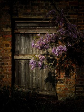Wisteria No People Spring Outdoor Wisteria Plant Flowering Plant Flower No People Fragility Vulnerability  Beauty In Nature Nature Purple Building Exterior Outdoors Vine Day Growth Freshness Architecture Built Structure