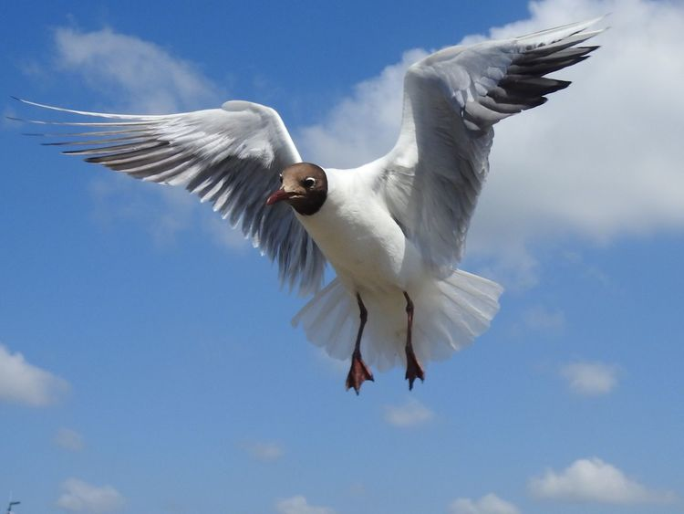 Black-headed Gull Bird Flying Bird Animals In The Wild Nature