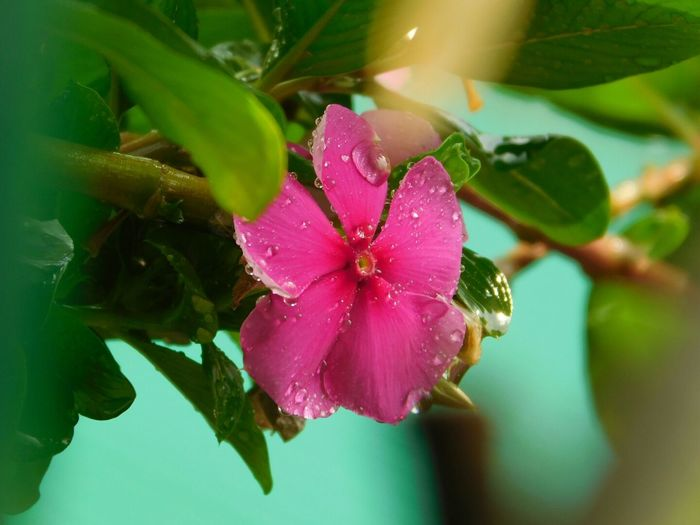 Flower Fragility Nature Petal Pink Color Plant Leaf Beauty In Nature Freshness Close-up No People Flower Head Growth Day Rain Rain Drops Drops After The Rain Art Of Nature Art Of Rain Periwinkle