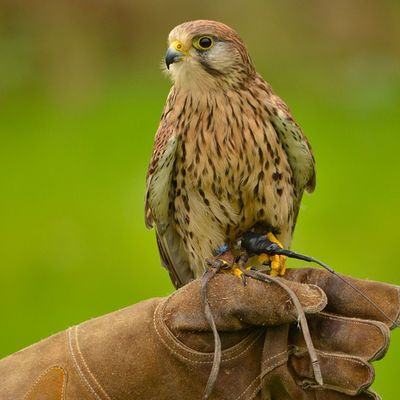 Kestrel, at Word Of Wings Cumbernauld . Taken on Nikon D7000, ISO 500 1/800sec f5.3 Birdsofprey Kestrel Nature_sultans Igbest_shotz Super_shots Igbest_shots Naturelover_gr Bnwscotland