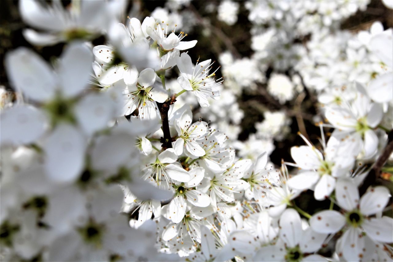 flower, white color, nature, blossom, growth, fragility, apple blossom, tree, beauty in nature, no people, delicate, freshness, springtime, petal, branch, blooming, spring, close-up, day, outdoors, flower head